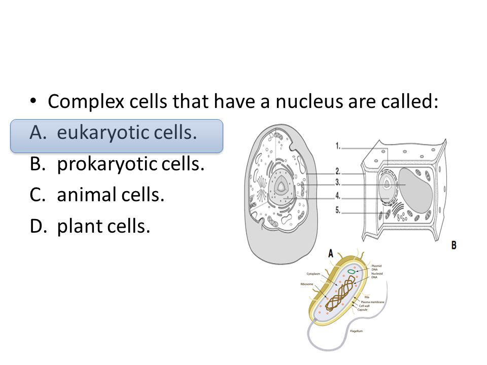 Complex cells that have a nucleus are called: