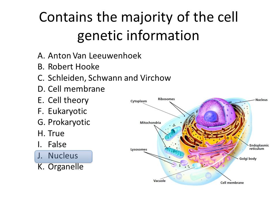 Contains the majority of the cell genetic information