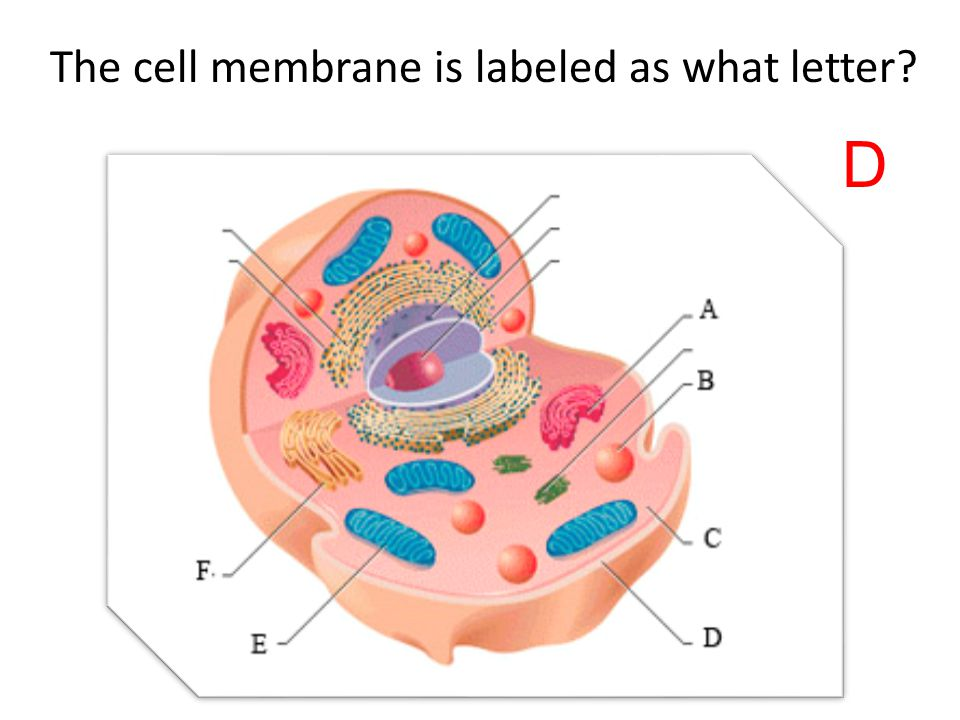 The cell membrane is labeled as what letter