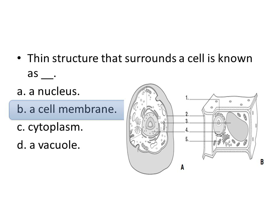 Thin structure that surrounds a cell is known as __.