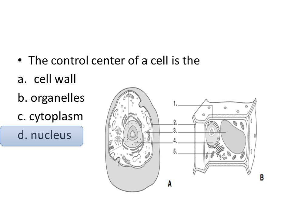 The control center of a cell is the