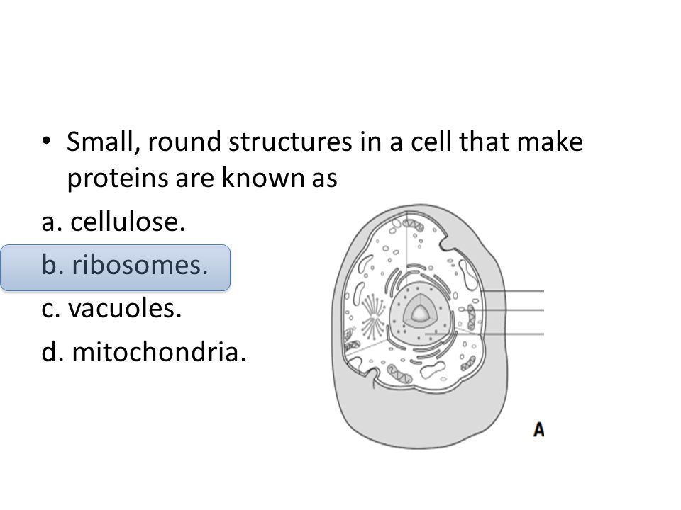 Small, round structures in a cell that make proteins are known as