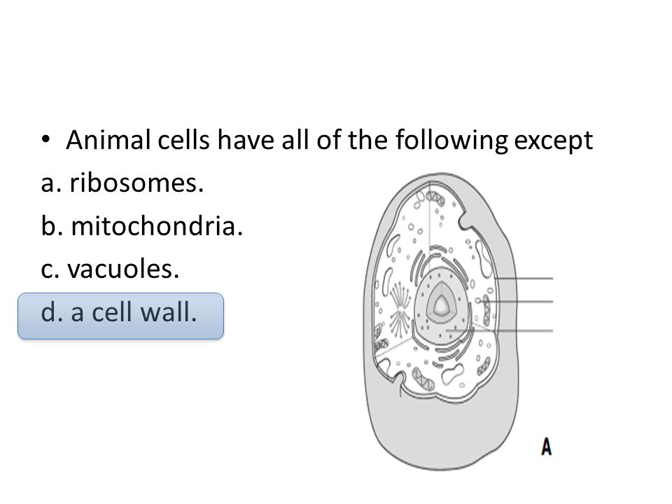 Animal cells have all of the following except