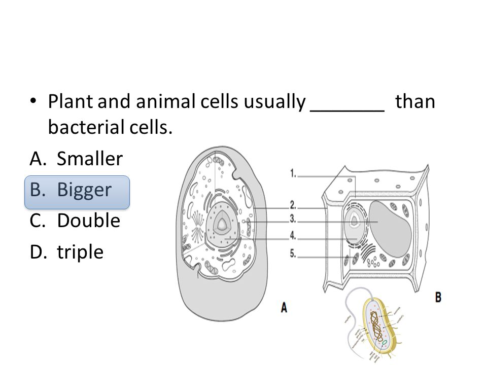 Plant and animal cells usually _______ than bacterial cells.