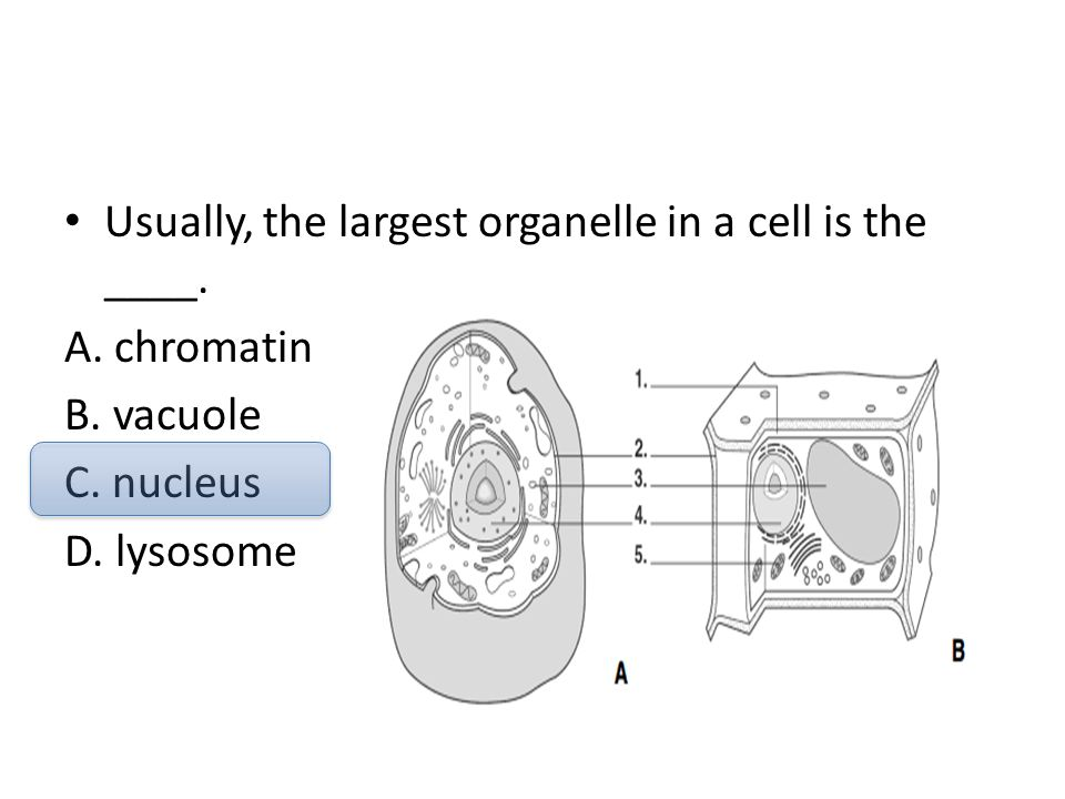 Usually, the largest organelle in a cell is the ____.