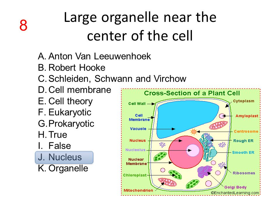 Large organelle near the center of the cell