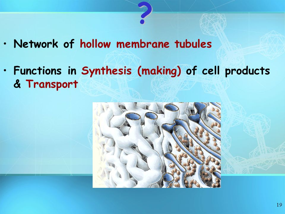 Network of hollow membrane tubules