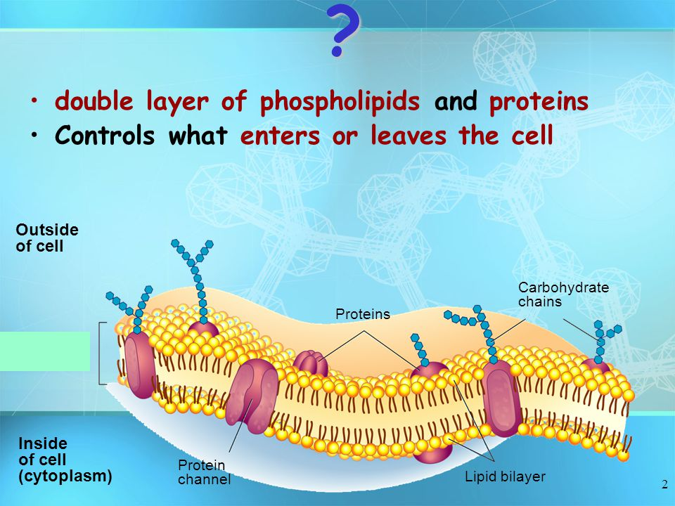 double layer of phospholipids and proteins