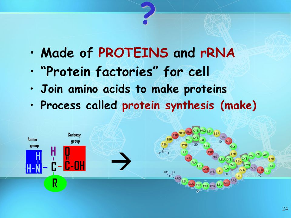 Made of PROTEINS and rRNA Protein factories for cell