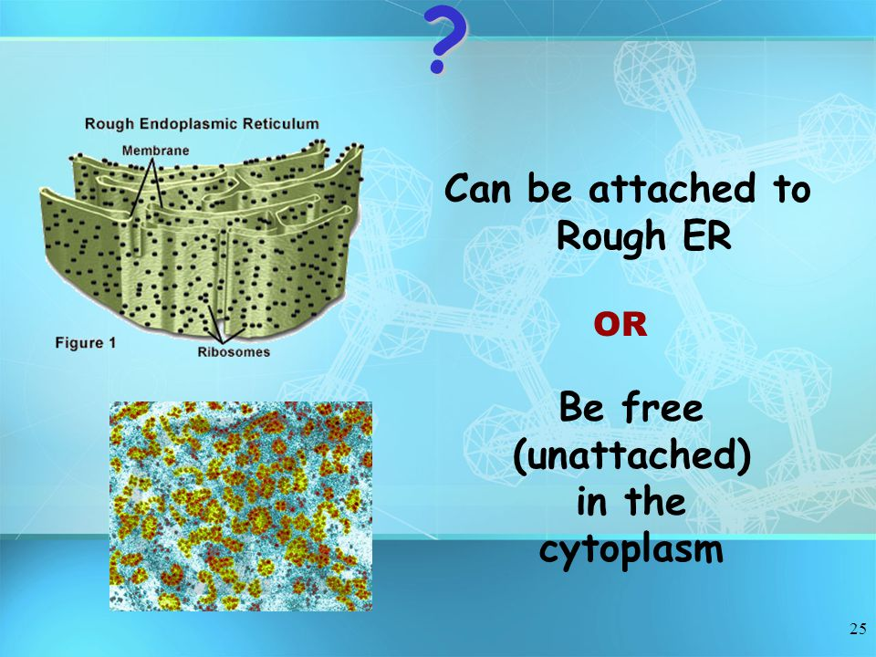 Can be attached to Rough ER Be free (unattached) in the cytoplasm
