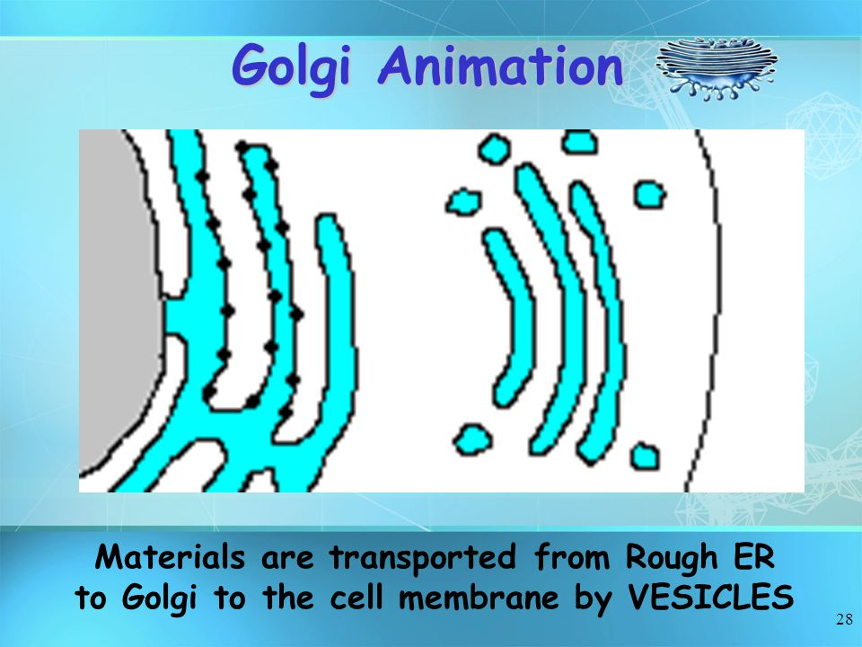 Golgi Animation Materials are transported from Rough ER to Golgi to the cell membrane by VESICLES
