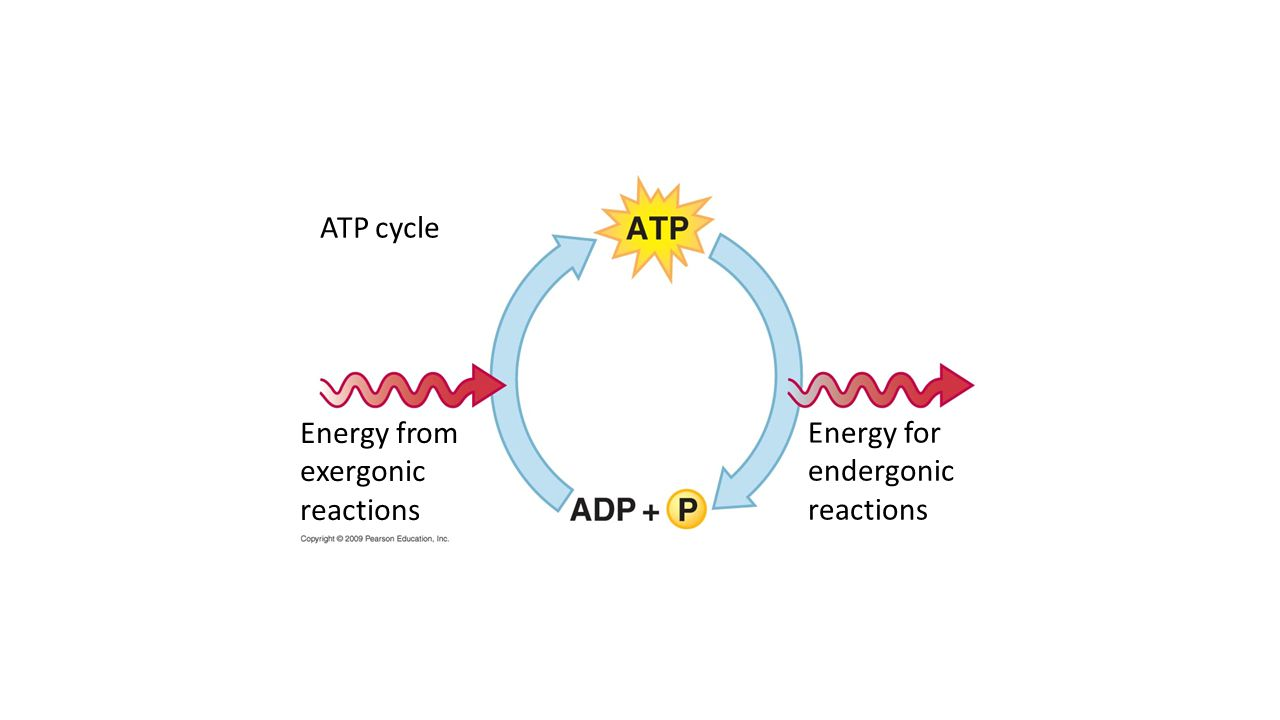 ATP cycle Energy from exergonic reactions Energy for endergonic reactions
