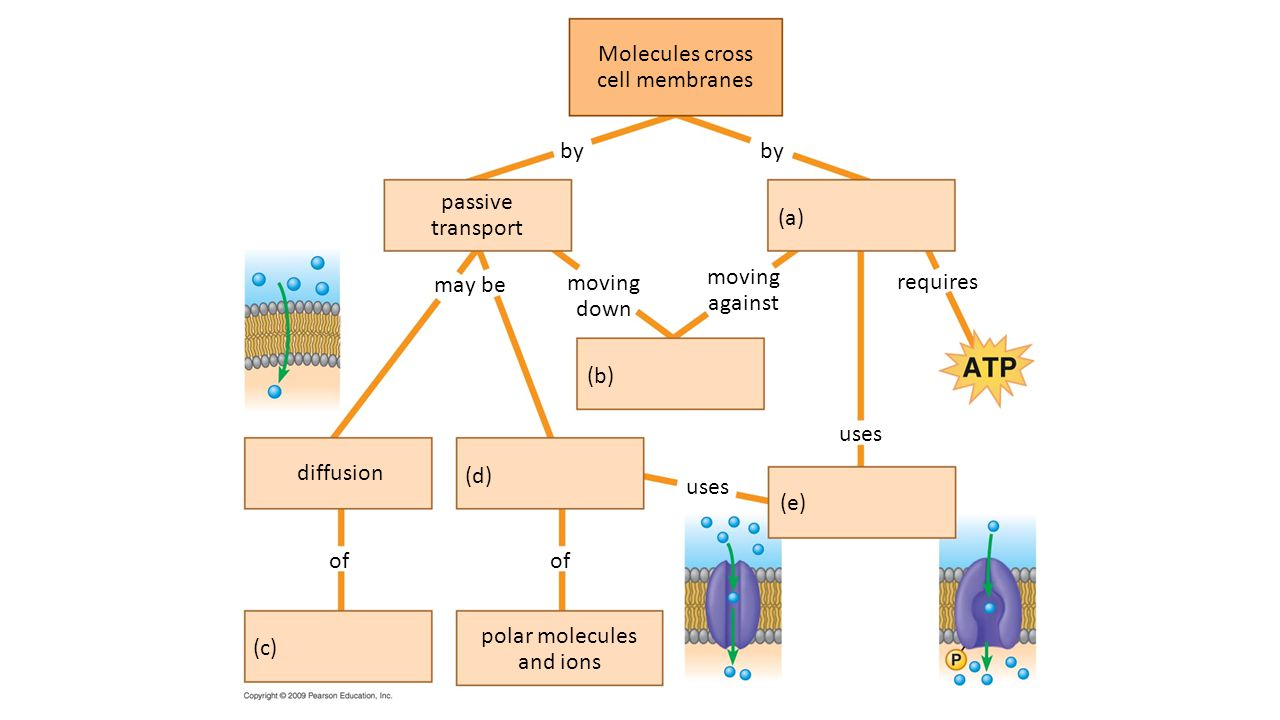 Molecules cross cell membranes. by. by. passive. transport. (a) may be. moving. down. moving.