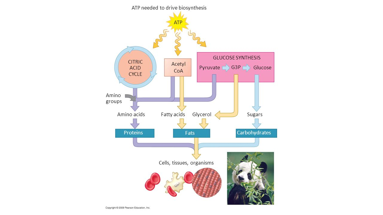 ATP needed to drive biosynthesis