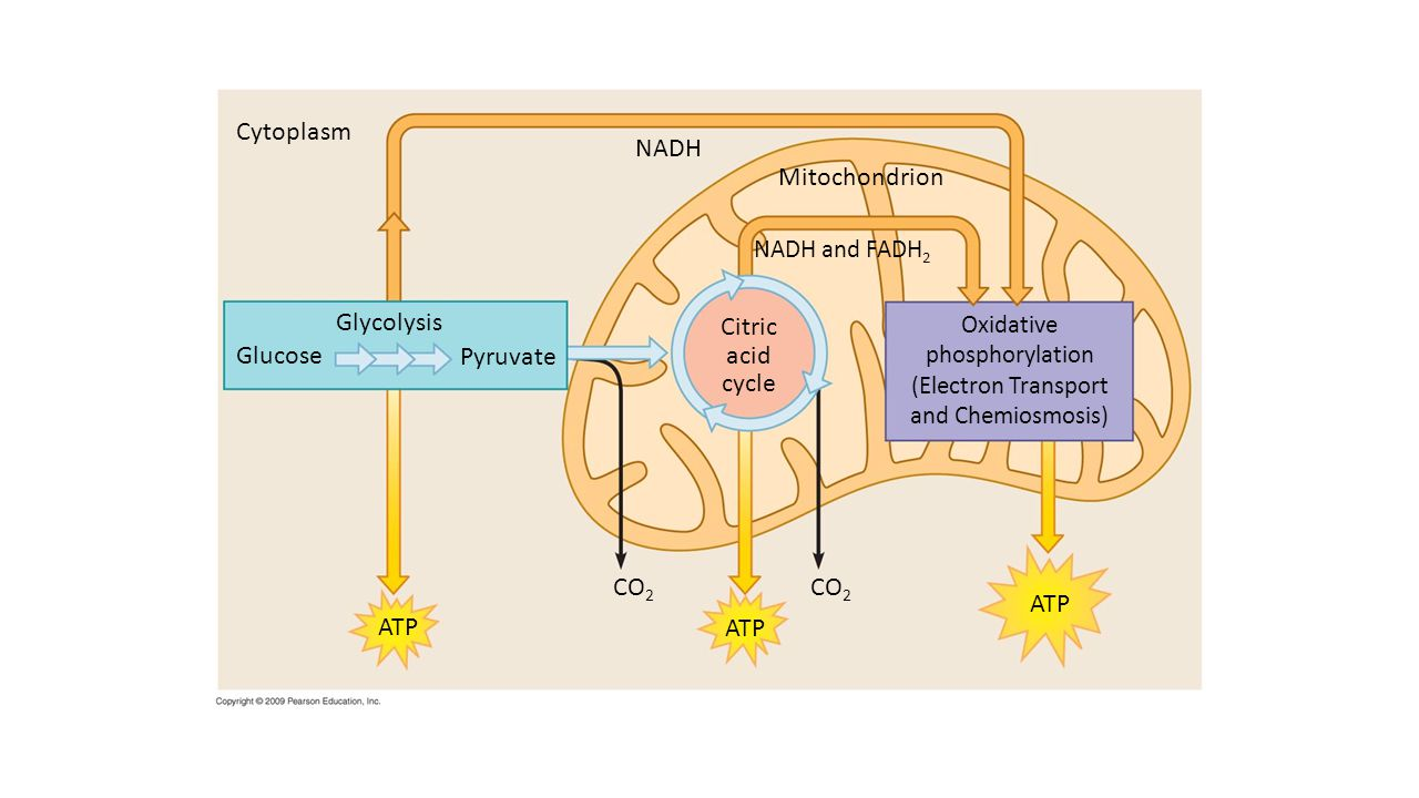 Cytoplasm NADH Mitochondrion Glycolysis Citric acid cycle Glucose