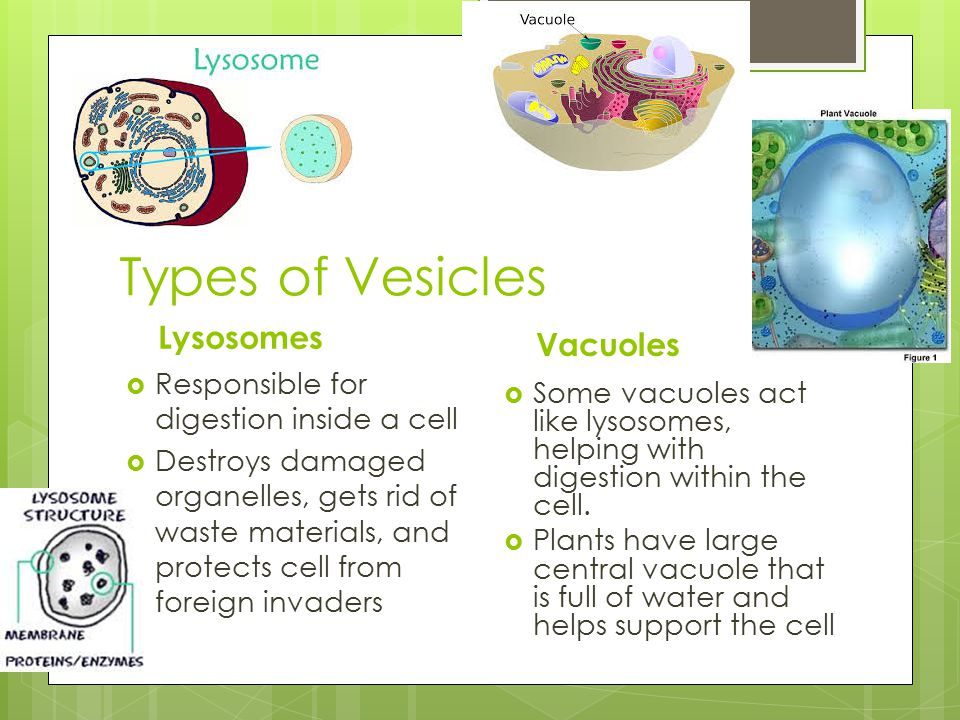 Types of Vesicles Lysosomes Vacuoles