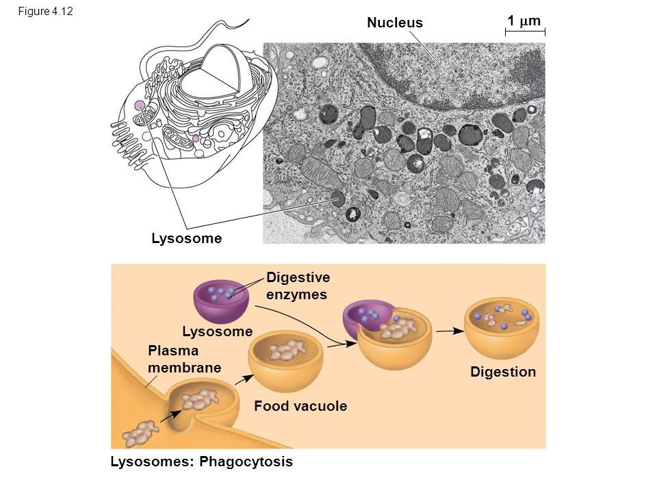 Lysosomes: Phagocytosis