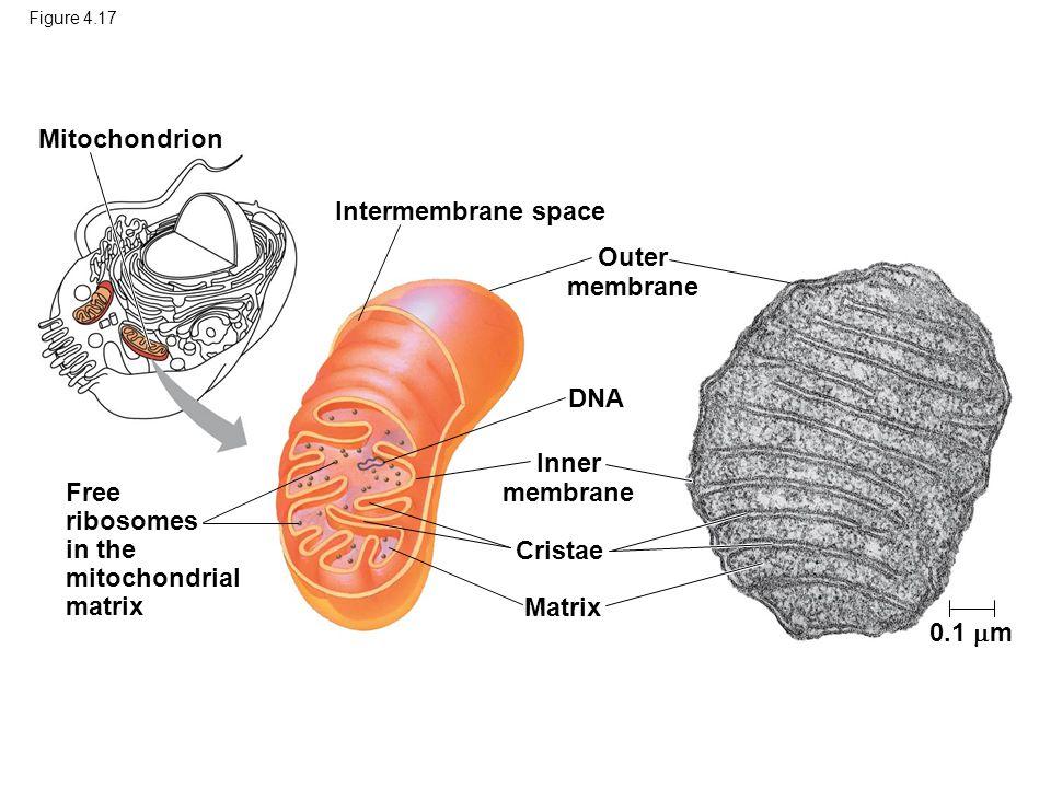 Outer membrane Inner membrane