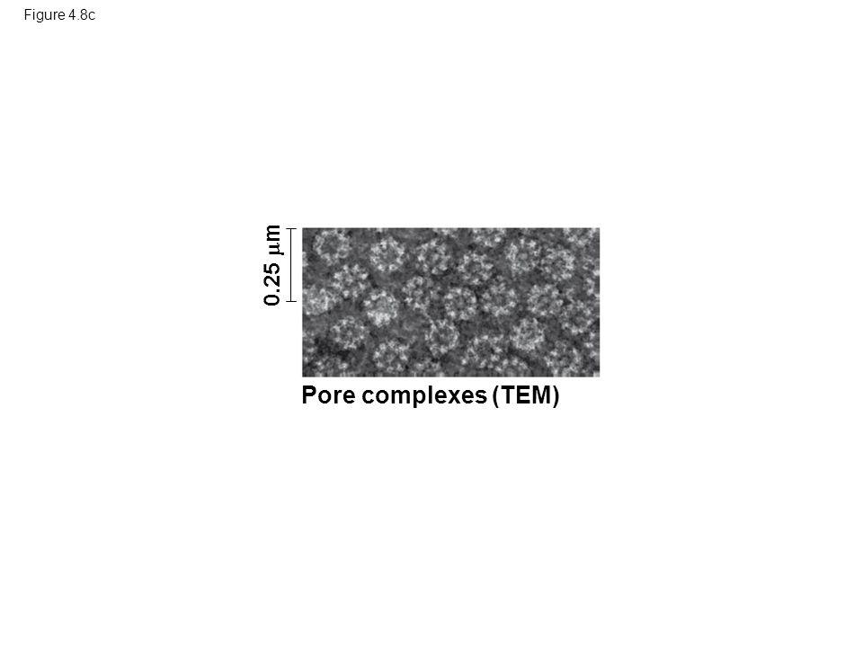 Pore complexes (TEM) 0.25 m Figure 4.8c