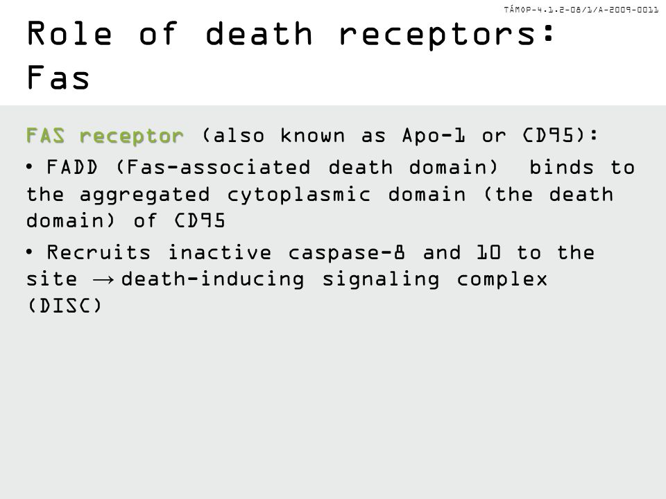 Role of death receptors: Fas