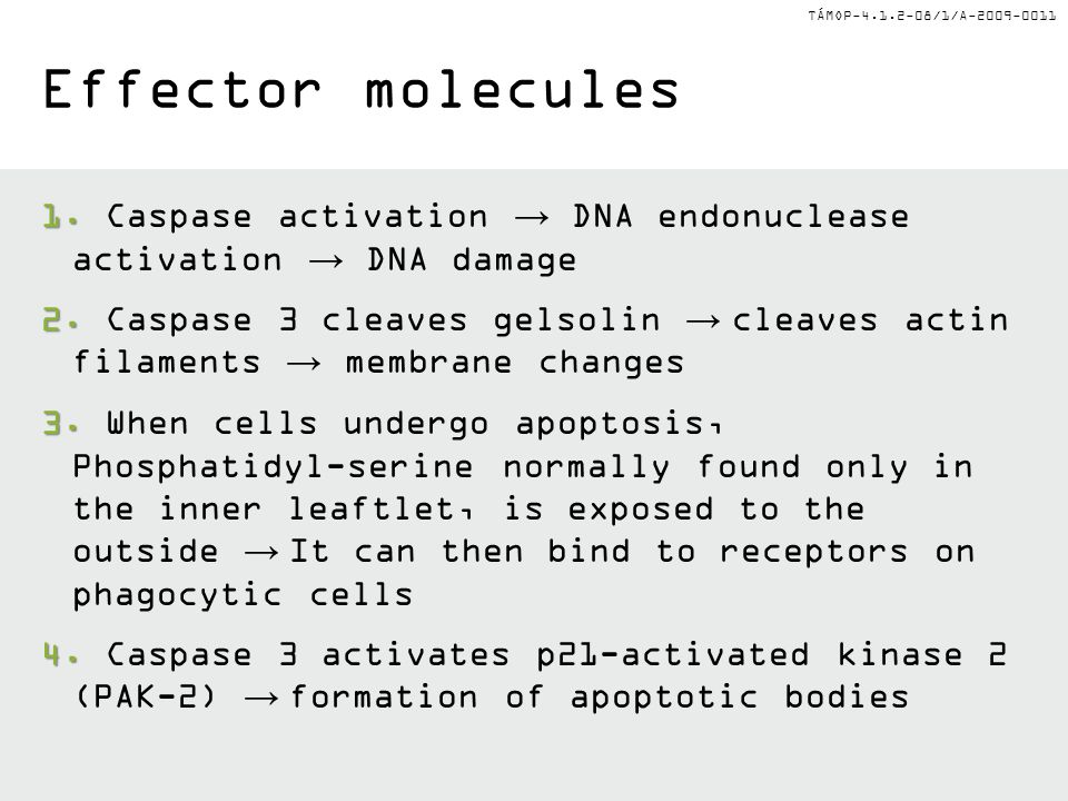 Effector molecules Caspase activation → DNA endonuclease activation → DNA damage.