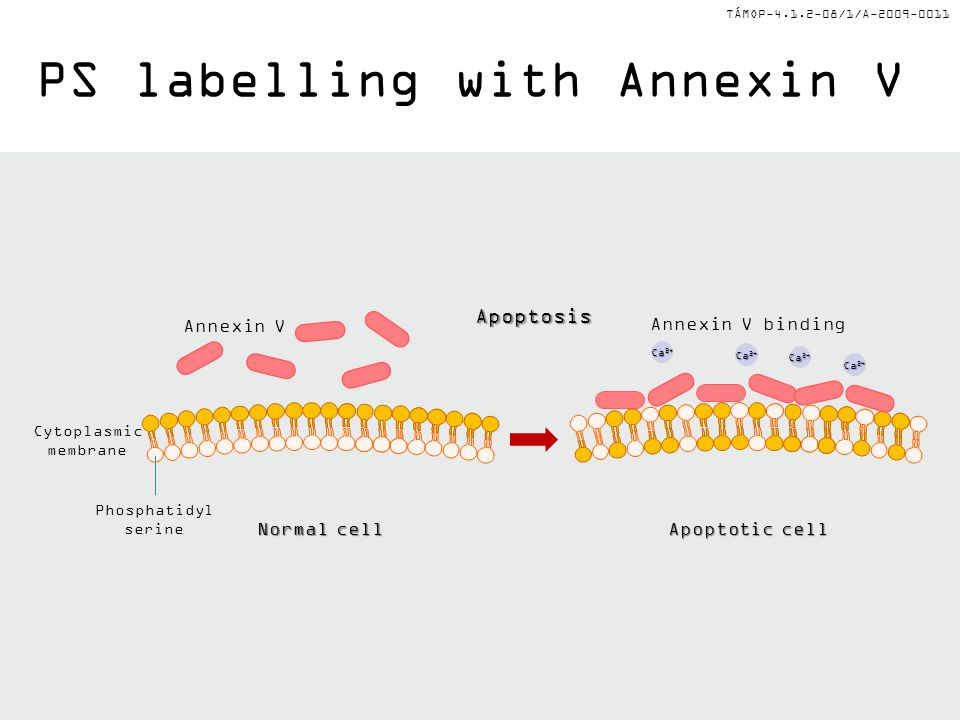 PS labelling with Annexin V