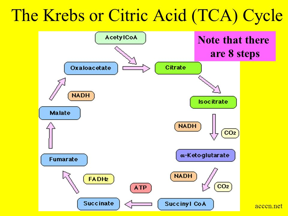 The Krebs or Citric Acid (TCA) Cycle