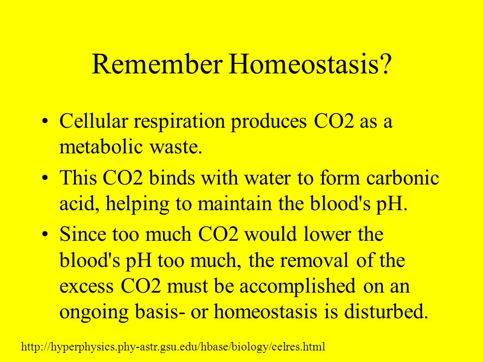 Remember Homeostasis Cellular respiration produces CO2 as a metabolic waste.