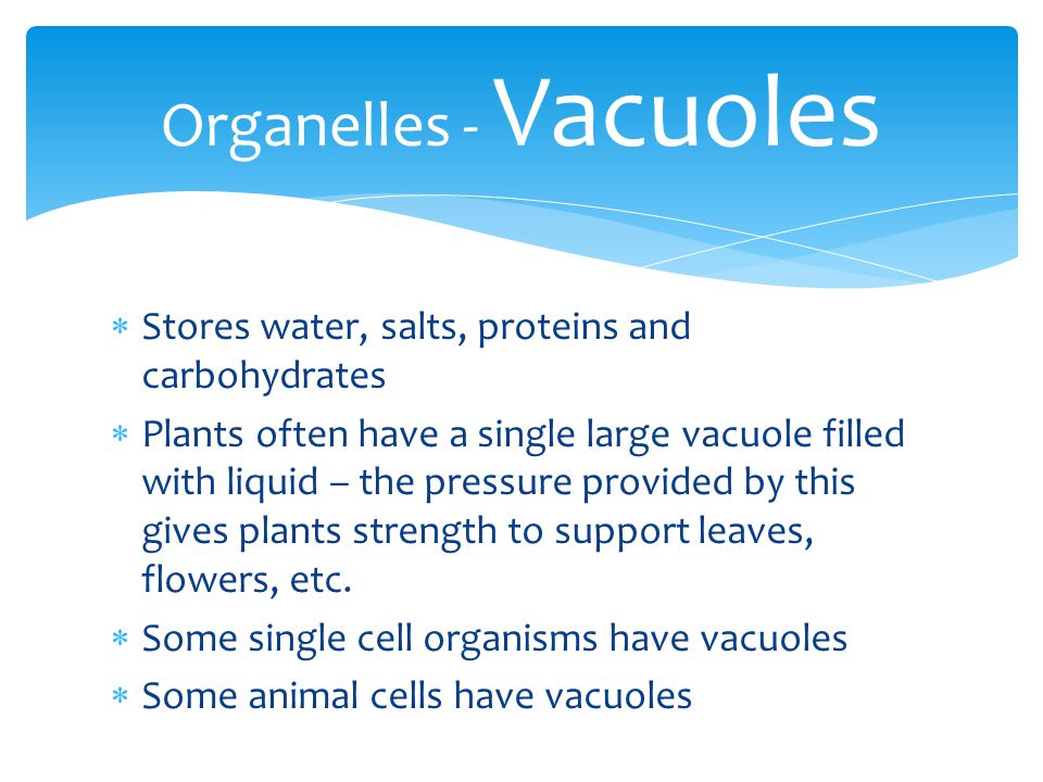 Organelles - Vacuoles Stores water, salts, proteins and carbohydrates