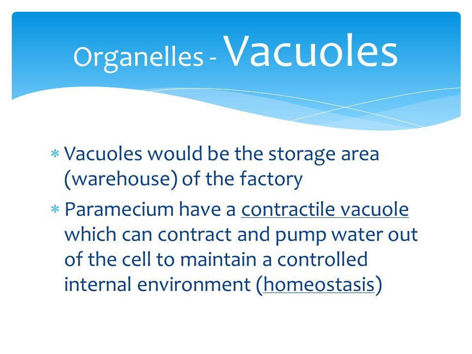 Organelles - Vacuoles Vacuoles would be the storage area (warehouse) of the factory.