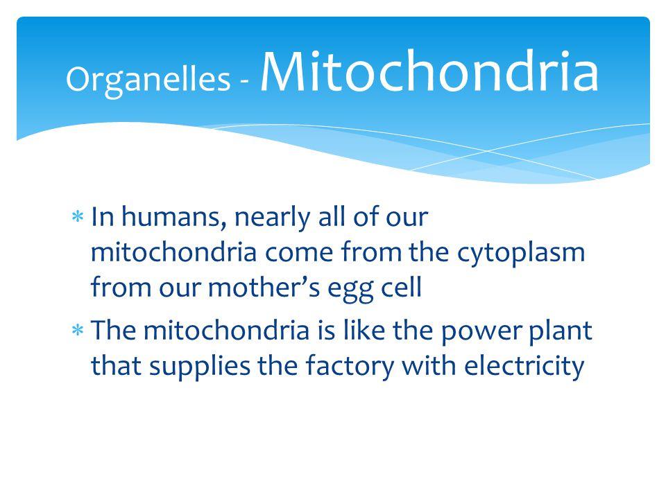 Organelles - Mitochondria
