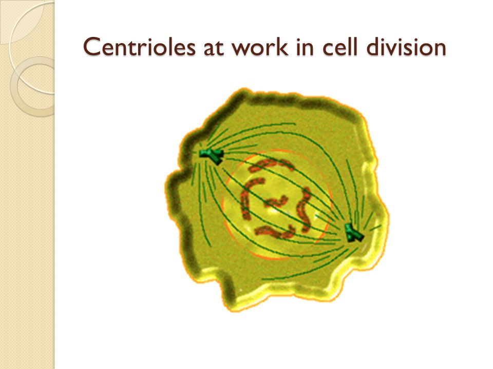 Centrioles at work in cell division
