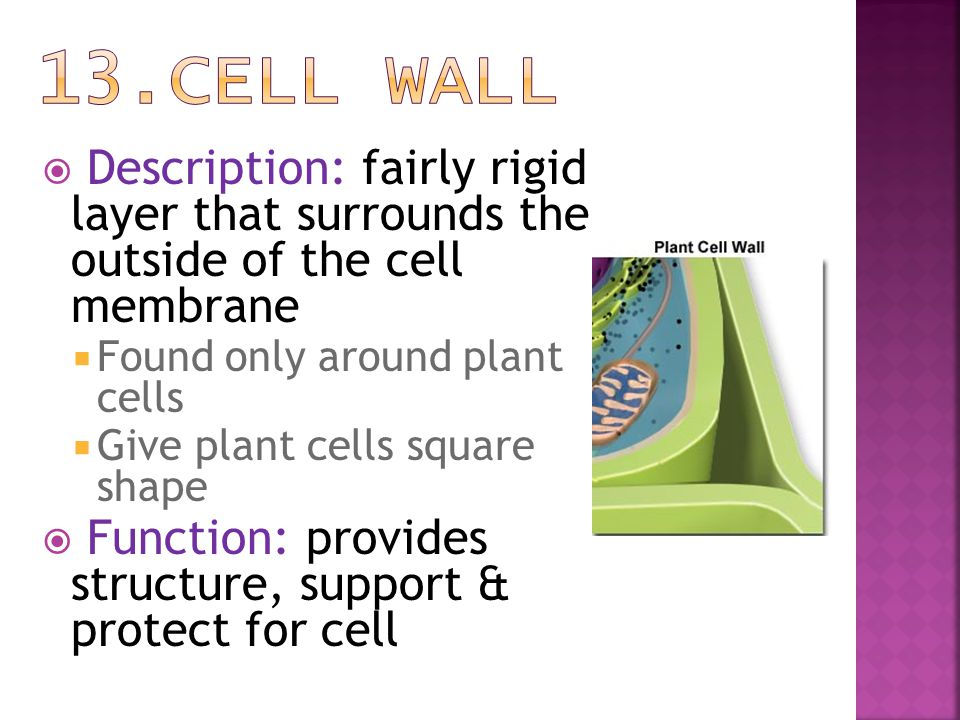 13.Cell Wall Description: fairly rigid layer that surrounds the outside of the cell membrane. Found only around plant cells.