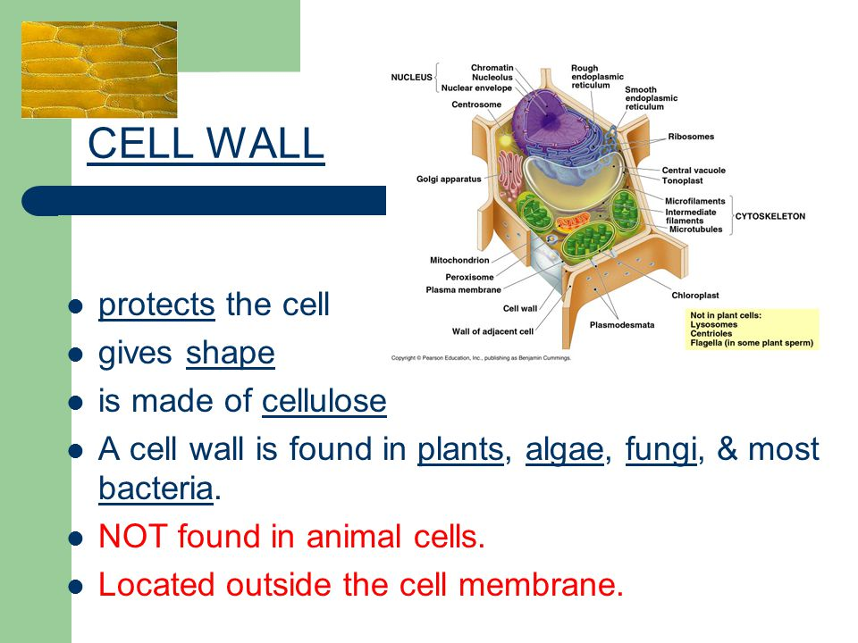 CELL WALL protects the cell gives shape is made of cellulose