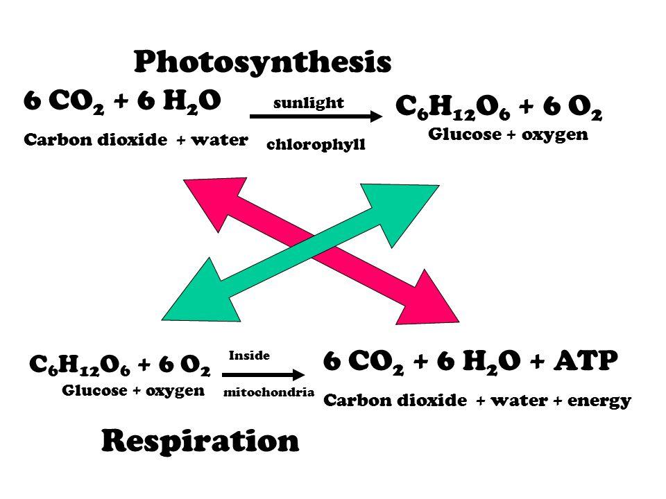 Photosynthesis Respiration 6 CO2 + 6 H2O C6H12O6 + 6 O2