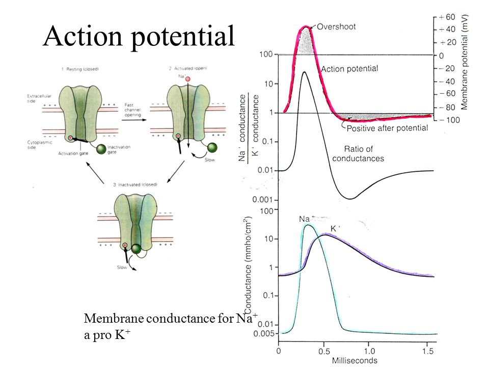 Action potential Membrane conductance for Na+ a pro K+