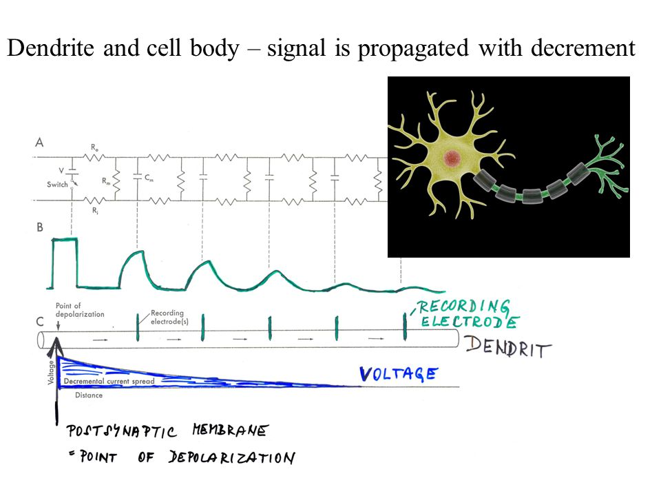 Dendrite and cell body – signal is propagated with decrement