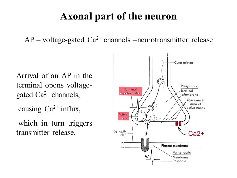 Axonal part of the neuron AP – voltage-gated Ca2+ channels –neurotransmitter release