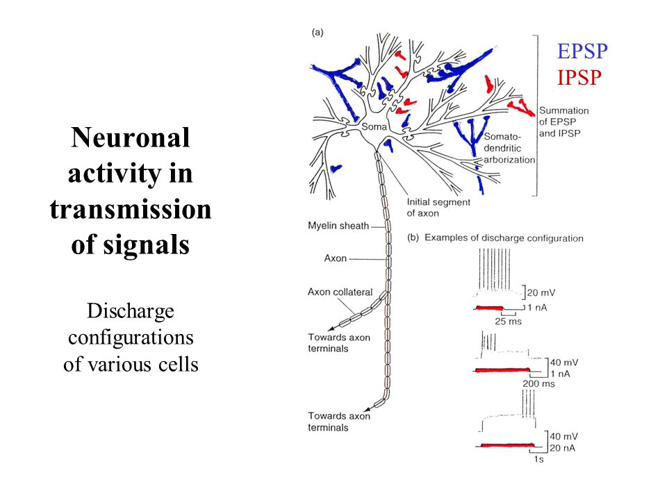 Neuronal activity in transmission of signals Discharge configurations of various cells