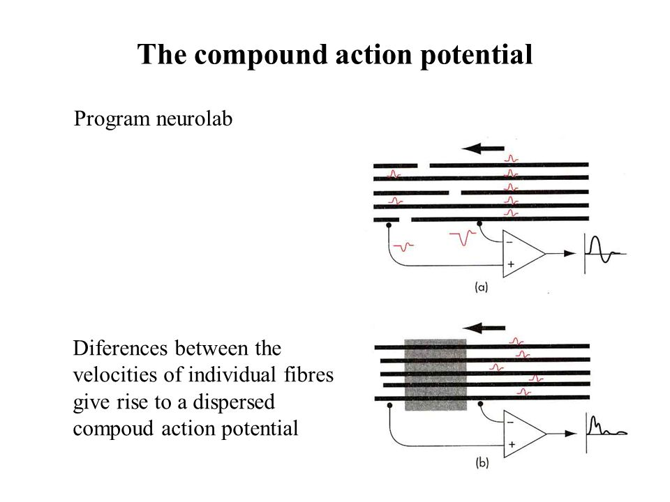 The compound action potential
