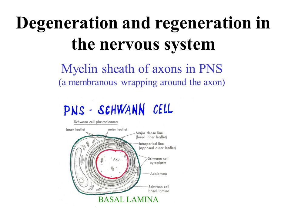 Myelin sheath of axons in PNS (a membranous wrapping around the axon)