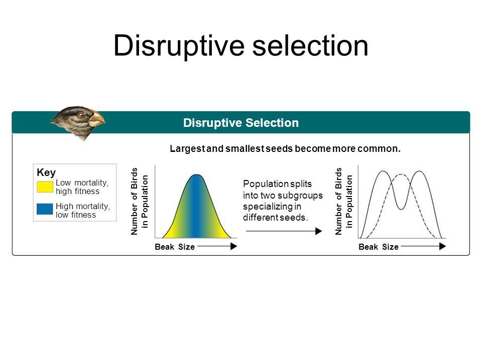 Disruptive selection Disruptive Selection Key