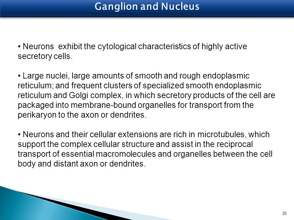 Ganglion and Nucleus Neurons exhibit the cytological characteristics of highly active secretory cells.
