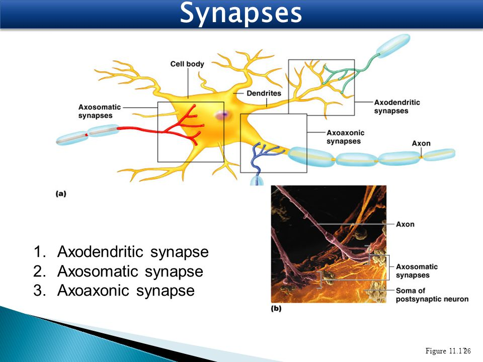 Synapses Axodendritic synapse Axosomatic synapse Axoaxonic synapse