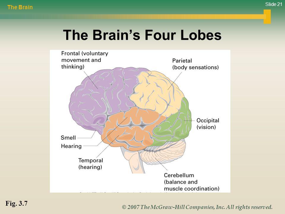 The Brain The Brain's Four Lobes Fig. 3.7