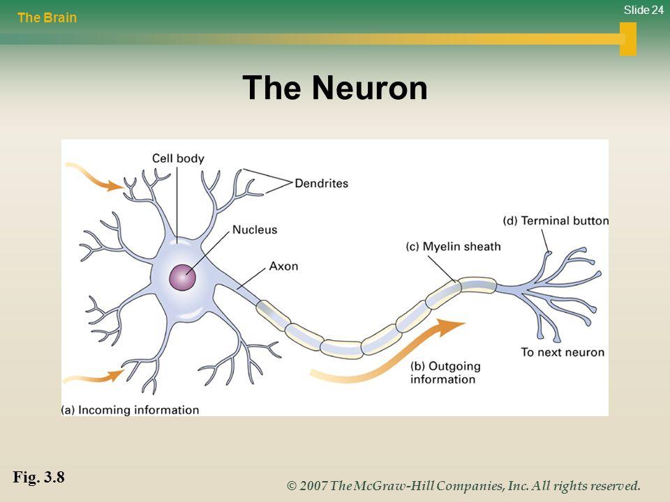 The Brain The Neuron Fig. 3.8