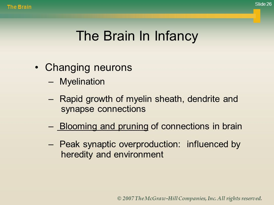 The Brain In Infancy Changing neurons Myelination