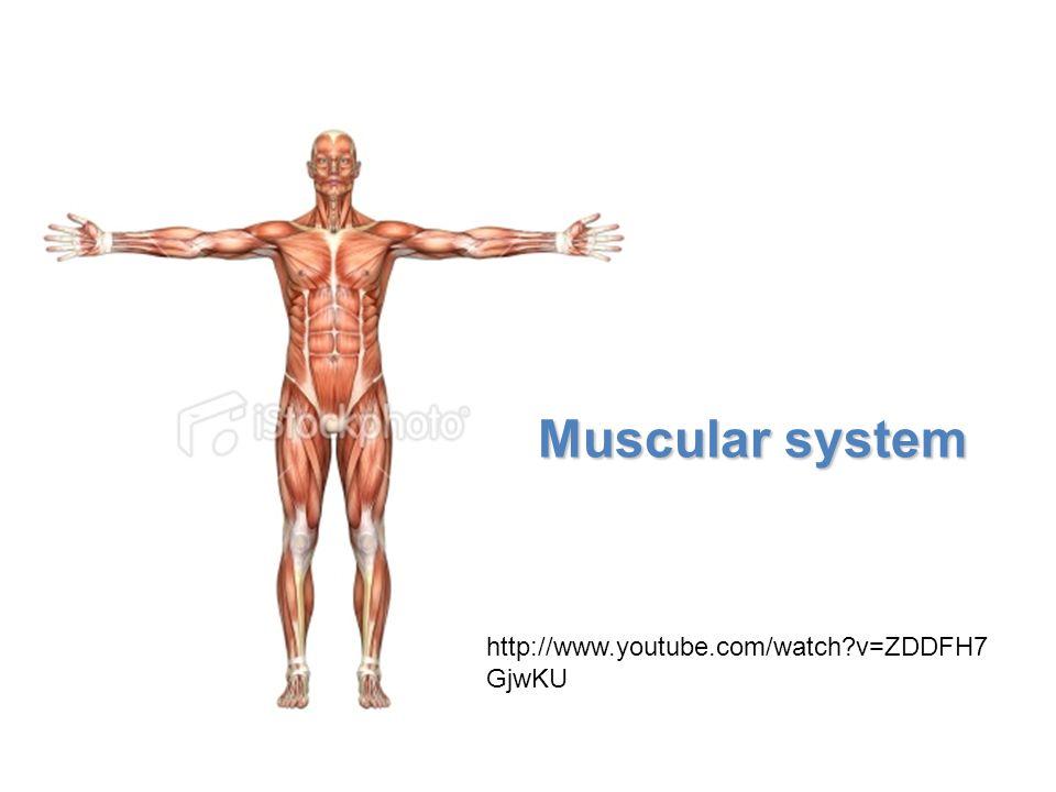 Muscular system http://www.youtube.com/watch v=ZDDFH7GjwKU