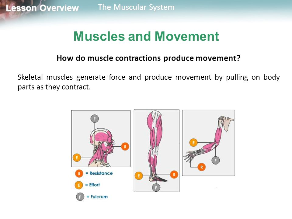 How do muscle contractions produce movement