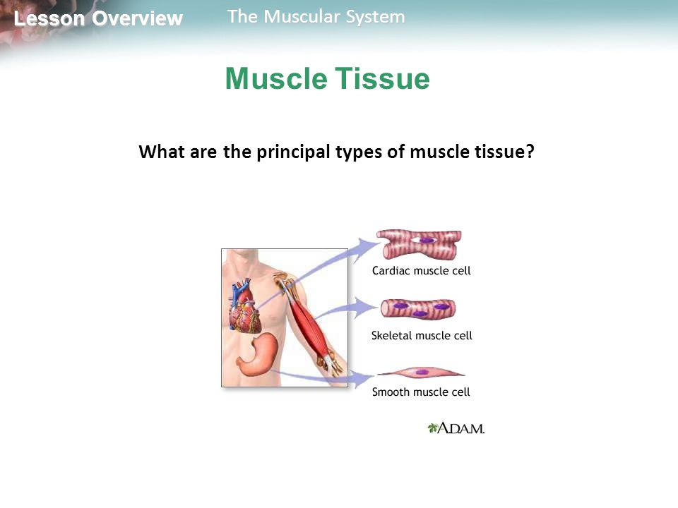 What are the principal types of muscle tissue